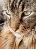 Olhar interessante de um gato de gato malhado de cabelos compridos foto de stock