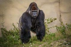 Olhar irritado do gorila na câmera fotos de stock