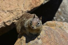 Olhar mais atento ascendente adorável na cara de um esquilo imagens de stock royalty free