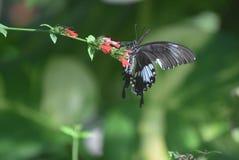 Olhar mais atento ascendente fantástico em uma borboleta de Pipevine Swallowtail imagem de stock royalty free