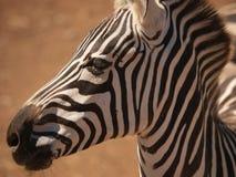 Olhar mais atento da zebra Foto de Stock Royalty Free
