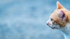 Olhar mais atento do gato Fotografia de Stock