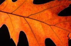 Olhar mais atento na beleza de Autumn Leaf colorido Imagens de Stock
