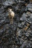 Olhar-para fora da ovelha dos carneiros de Bighorn Fotografia de Stock Royalty Free