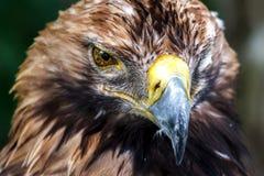 Olhar perfurando da águia na essência mesma foto de stock