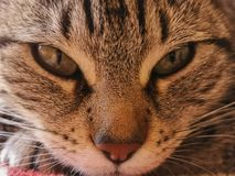 Olhar perfurando de um gato imagem de stock