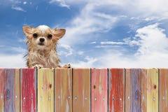 Olhar sujo molhado do cão da chihuahua através de uma cerca de madeira rústica Imagem de Stock Royalty Free