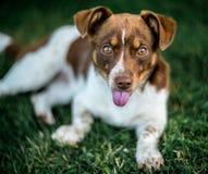 Olhar surpreendido do cão que mostra a língua