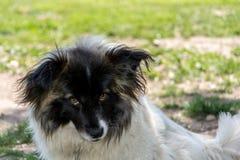 Olhar triste do cão Fotografia de Stock Royalty Free