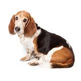 Olhar triste do perfil de Basset Hound Foto de Stock