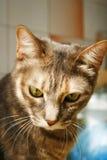 Olhar tristonho do gato de gato malhado Fotos de Stock Royalty Free