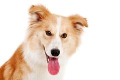 Olhar vermelho do cão na câmera Imagens de Stock