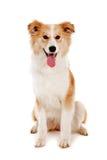 Olhar vermelho do cão na câmera Foto de Stock