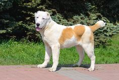Olhares asiáticos centrais de Dog do pastor in camera Foto de Stock