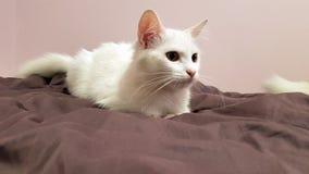 Olhares brancos do gato confundidos no mau Imagens de Stock Royalty Free