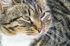 Olhares comuns do gato de gato malhado pensativamente de lado Imagens de Stock