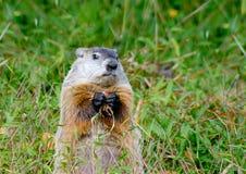 Olhares de Groundhog ao guardar a castanha Fotos de Stock Royalty Free