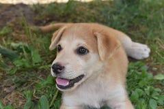Olhares do cachorrinho Imagem de Stock Royalty Free