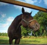 Olhares do cavalo Fotografia de Stock Royalty Free