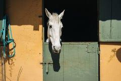 Olhares do cavalo branco Imagens de Stock Royalty Free