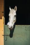 Olhares do cavalo branco Fotos de Stock Royalty Free