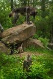 Olhares do lúpus de Grey Wolf Canis da Preto-fase para baixo da rocha imagem de stock royalty free