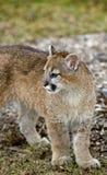 Olhares do puma (Felis Concolor) deixados - corpo imagem de stock