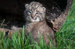Olhares do rufus de Bobcat Kitten Lynx para trás do log Foto de Stock Royalty Free