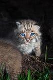 Olhares fixos do rufus de Bobcat Kitten Lynx para fora de dentro do log Fotos de Stock