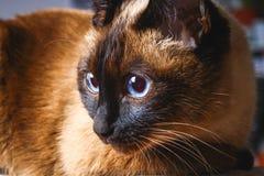 Olhares tailandeses Siamese do gato com cuidado afastado Retrato de um gato com olhos azuis Fotografia de Stock Royalty Free