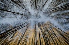 Olhe acima as árvores na floresta no outono Imagem de Stock