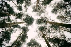 Olhe acima através das árvores Imagens de Stock Royalty Free