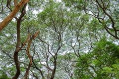Olhe acima para ramificar árvore de chuva imagem de stock