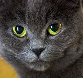 Olhe de um gato cinzento foto de stock