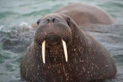 Olhe em meu eys- Haevyweight, morsa grande com suas presas na costa de Svalbard foto de stock
