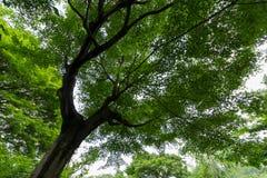 Olhe no auge da árvore grande, fundo Imagens de Stock Royalty Free