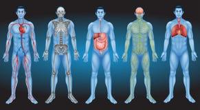 Olhe o corpo humano interno Fotografia de Stock Royalty Free