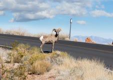Olhe para fora! Carneiros na estrada! Fotos de Stock Royalty Free