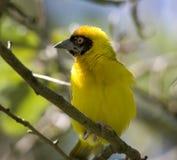 Olho amarelo do vermelho do pássaro Foto de Stock Royalty Free