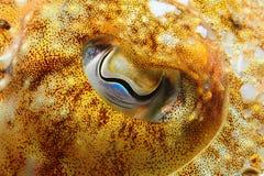 Olho amarelo dos officinalis do Sepia Imagem de Stock