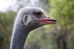Olho da avestruz Fotografia de Stock Royalty Free