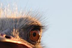 Olho da avestruz imagens de stock royalty free