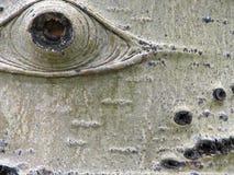 Olho da casca de árvore de Aspen Fotografia de Stock Royalty Free