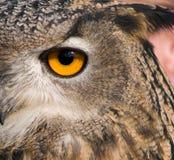 Olho da coruja de águia Foto de Stock