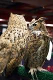 Olho da coruja de águia europeia Foto de Stock