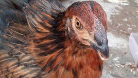 Olho da galinha fotografia de stock royalty free