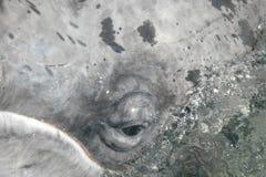 Olho da vitela da baleia cinzenta de Califórnia Imagens de Stock Royalty Free