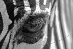 Olho da zebra Imagens de Stock