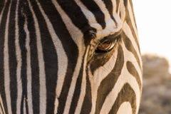 Olho da zebra no fim fotografia de stock royalty free
