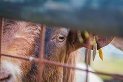 Olho das cabras Imagem de Stock